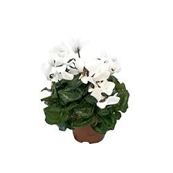 Cyclamen KL Compact white