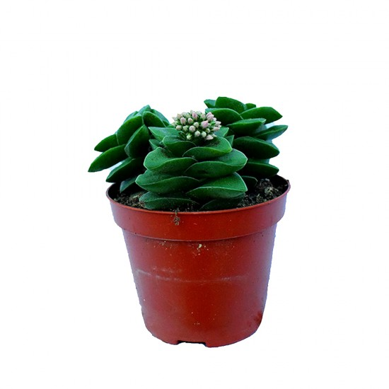 """Crassula """"Spring time"""" (Succulent)"""